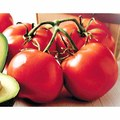 Beefsteak Tomatoes or Tomatoes on the Vine