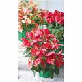 Novelty Poinsettia